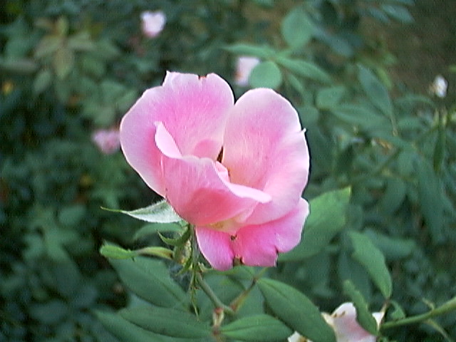 Pink Rose taken by Apple QuickTake 200 camera